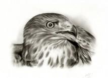 schets van foto | Adelaar tekening